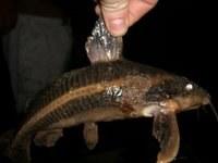 Armoured Cat Fish