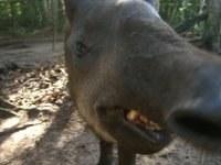 Tapia - Bush Cow