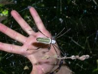 Spiders as BIG as Your Hand!