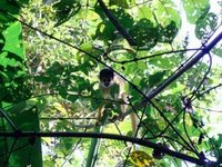 Cappuccino Monkey in the Foliage